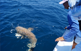 Chuck Williams assists a client with a nurse shark 15 miles off Venice Inlet, Florida